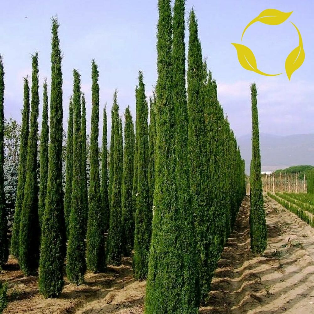 italian cypress cupressus sempervirens stricta 10 25. Black Bedroom Furniture Sets. Home Design Ideas