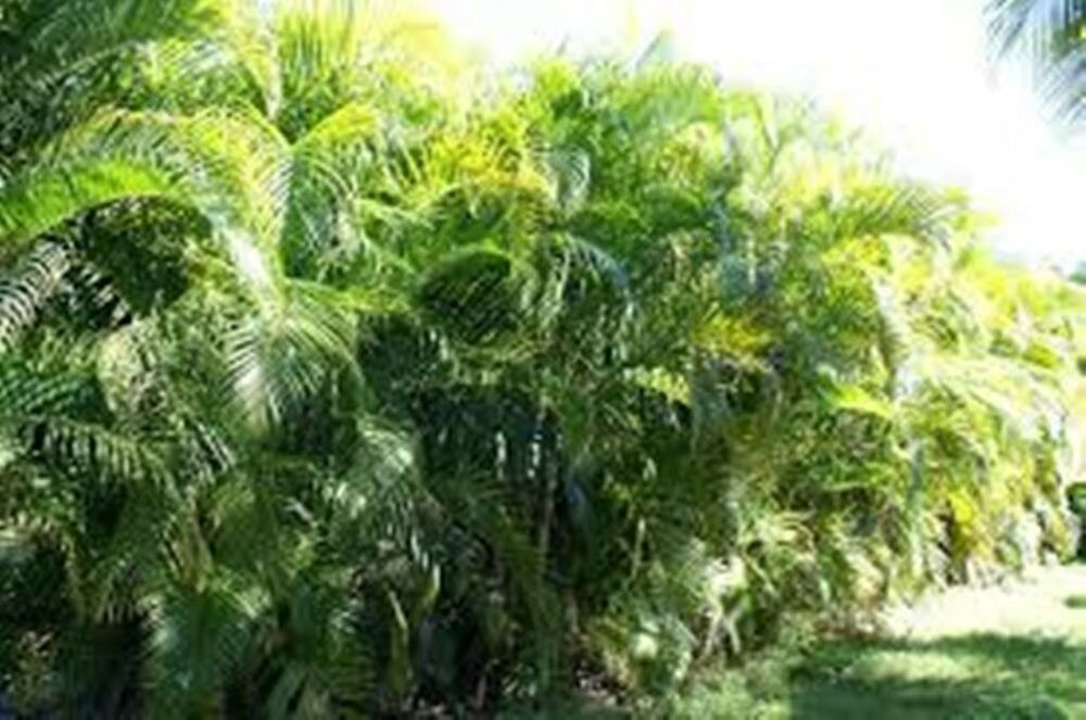 Areca palms dypsis lutescensa live plant tree ebay for Pictures of areca palm plants