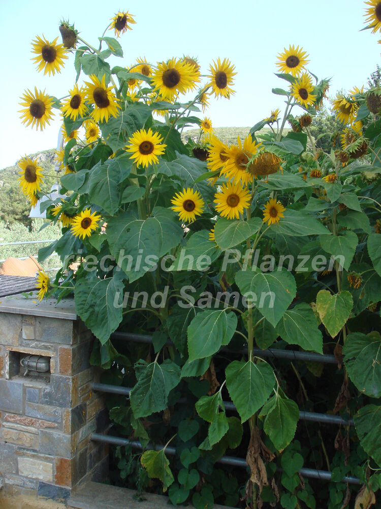 sonnenblume gigant 10 samen 3 meter hoch helianthus blumen sichtschutz ebay. Black Bedroom Furniture Sets. Home Design Ideas