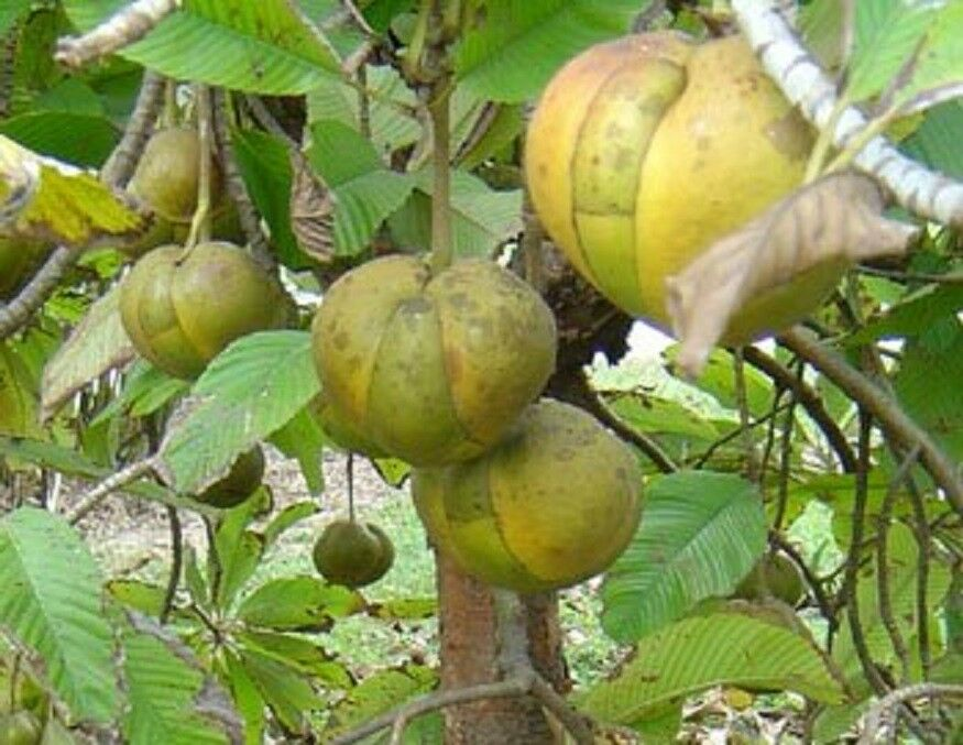 * Dillenia Indica * Elephant Apple Fruit * Evergreen Tree ...