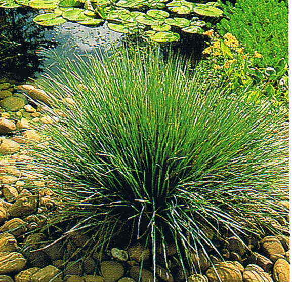 Juncus reed grass rush live water plant aquatic fish for Fish pond plants
