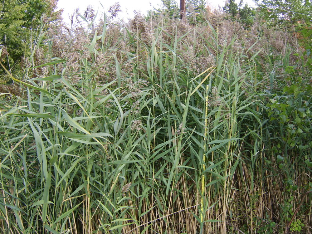 Norfolk reed live water plant aquatic lake large pond for Plants that live in a pond