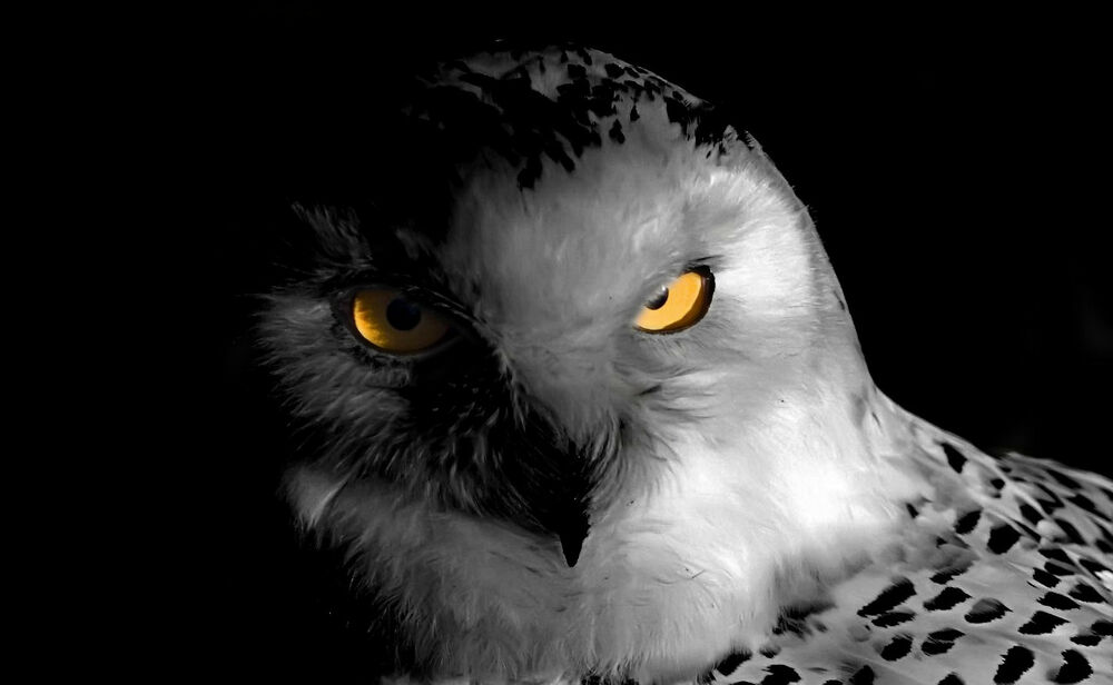 Black & White Owl With Yellow Eyes (Picture