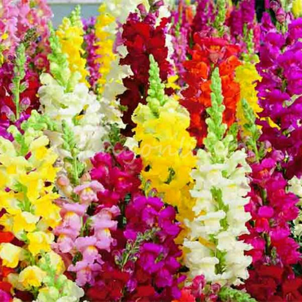 2000x Seeds Toadflax Snapdragon Antirrhinum Yellow Red ...