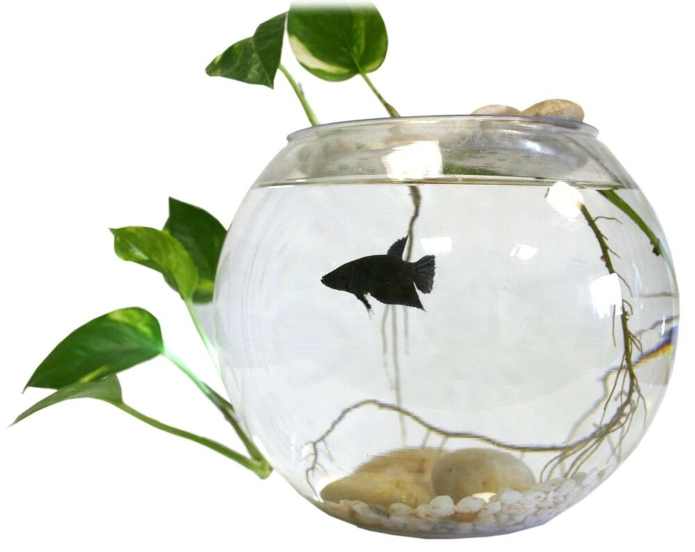 Indoor table top live water garden fish bowl grow plants for How to win money at fish tables