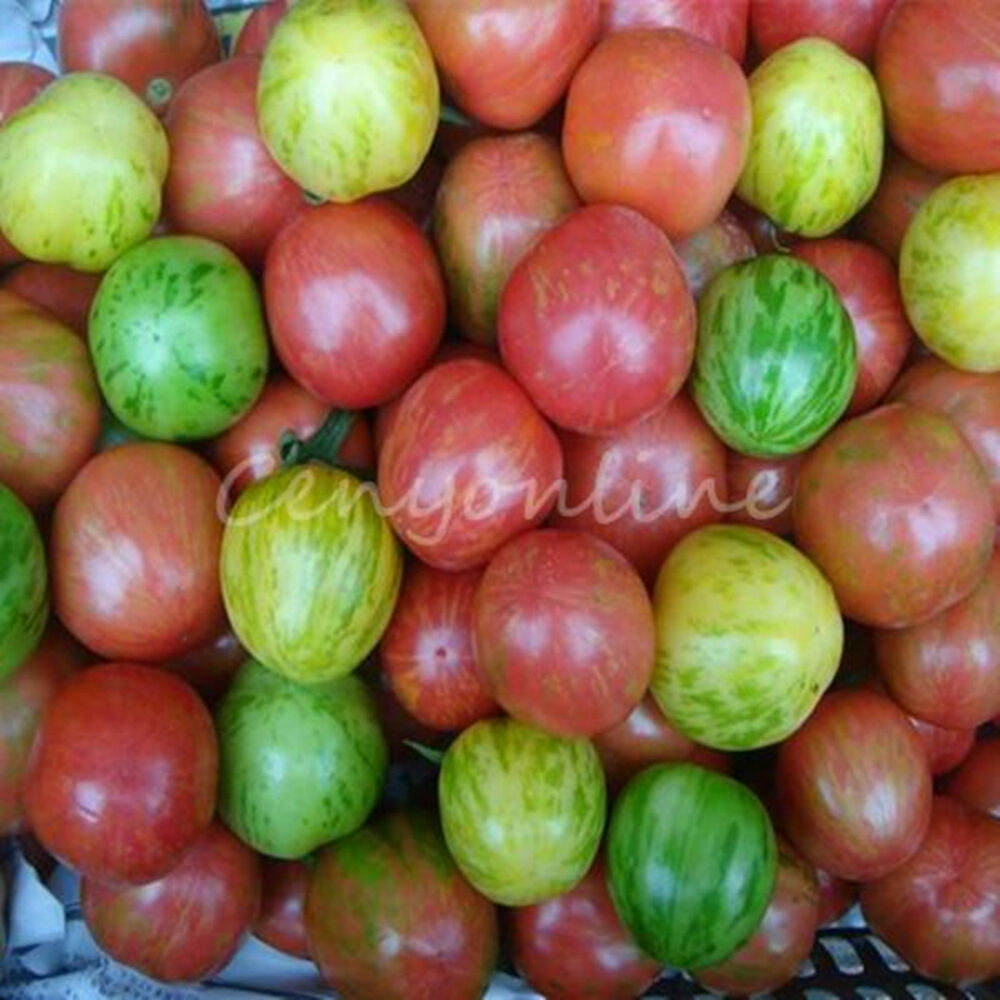 how to start tomato seeds outdoors