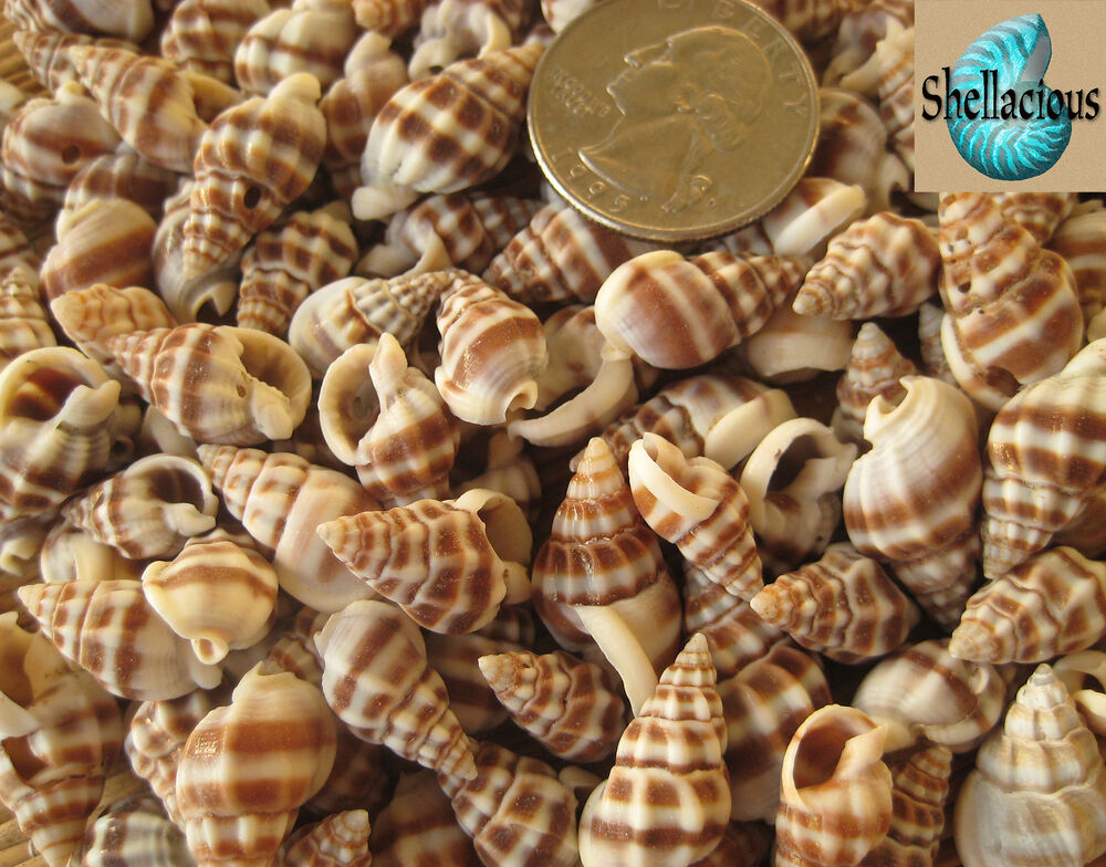 1 2 cup small nassarius phyrrus sea shells craft or tiny for Tiny shells for crafts