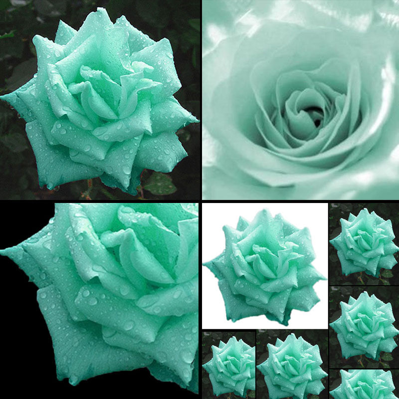Love Garden Roses: 200 Mint Green Rose Seeds Butterflies Love Garden Flower