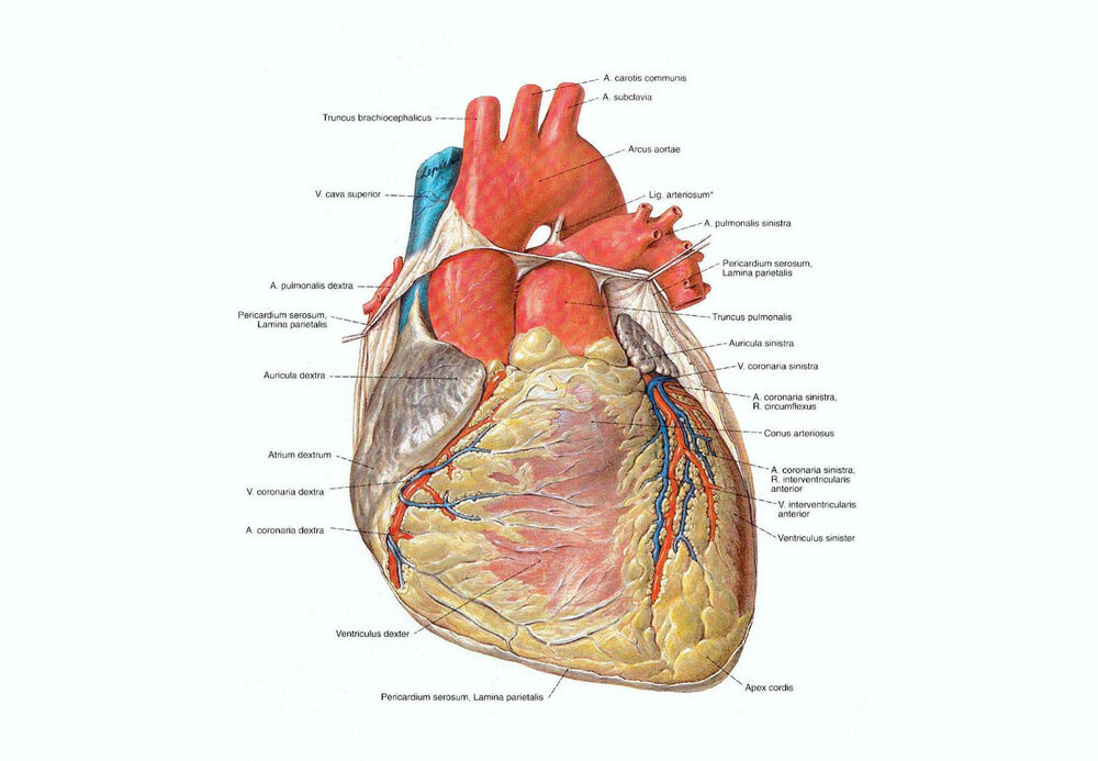 A4 Poster Detailed Look At The Human Heart Anatomy Surgery