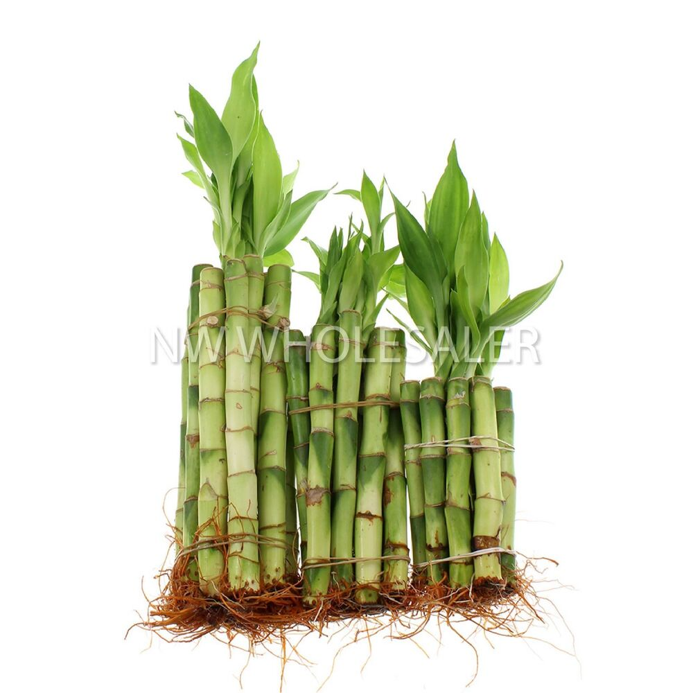 Bamboo Stcik People ~ Lucky bamboo stalks of each size quot