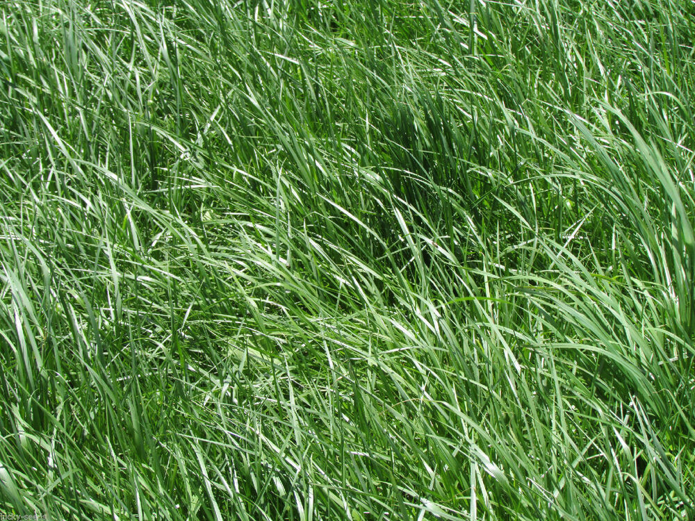 Kentucky 31 tall fescue grass seed raw 20 lbs ebay for Tall outdoor grasses