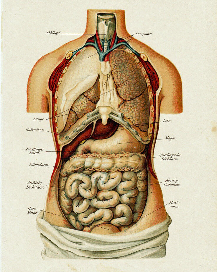 Vintage Medical Anatomy Human Organ Illustration Chart