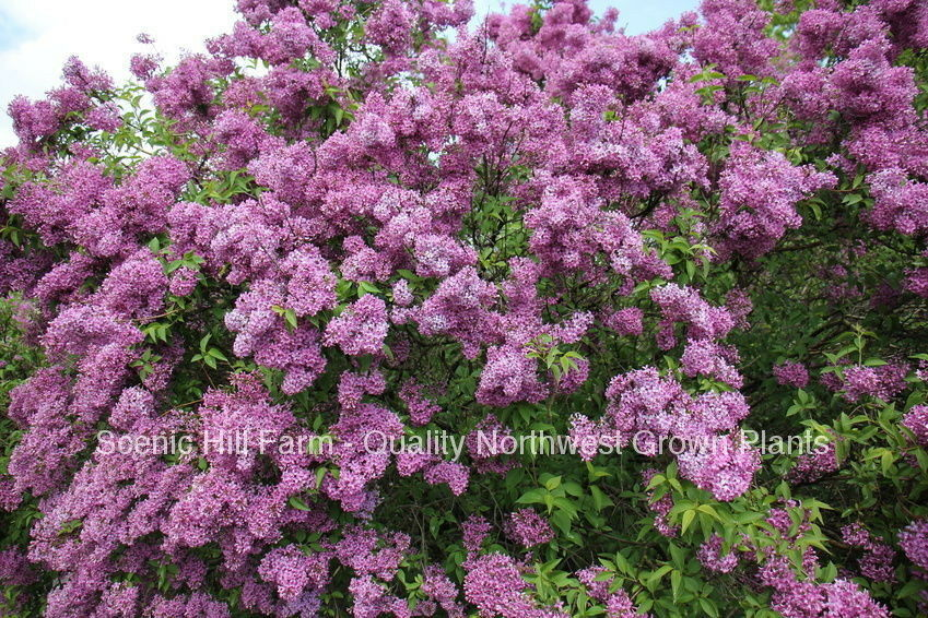 Potted Purple Old Fashion Lilac Bush The Most Fragrant