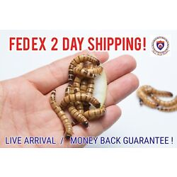 Kyпить Live Superworms - Organically Raised - ALL SIZES / ALL COUNTS!  Free Shipping! на еВаy.соm