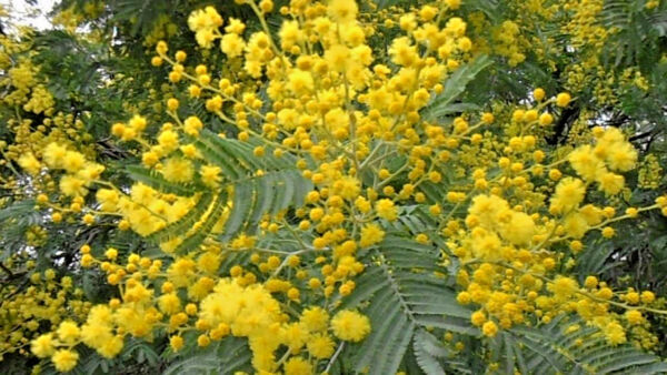 Acacia dealbata AGM Tree 50cm ESTABLISHED 9cm potHardy winter Evergreen coastal