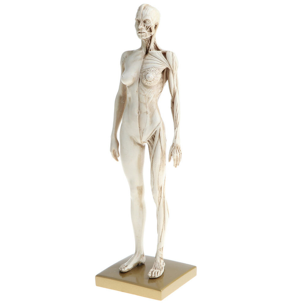 11 Inch Human Anatomy Muscle Skeleton Model Art Anatomy Figure