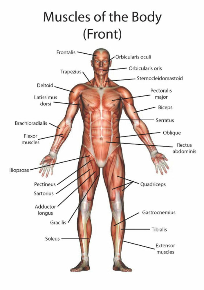 A4 Poster Muscle Layout Of The Human Body Picture Anatomy Medical