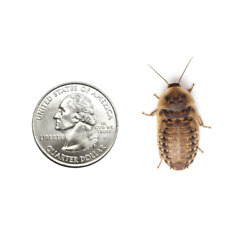 Kyпить Live Crickets - All Sizes (250 Count) - FREE FEDEX 2-DAY DELIVERY на еВаy.соm
