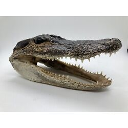 Kyпить Alligator Head From Genuine Louisiana Gator на еВаy.соm