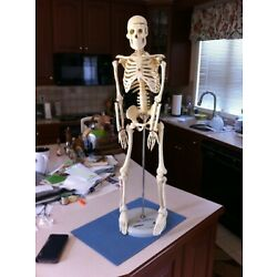 Kyпить  Desk Top Human Skeleton  model 40