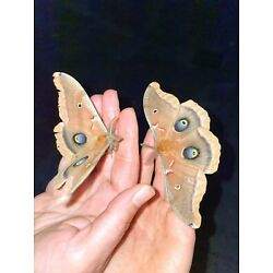 3*live polyphemus Moth cocoons from wild pairing