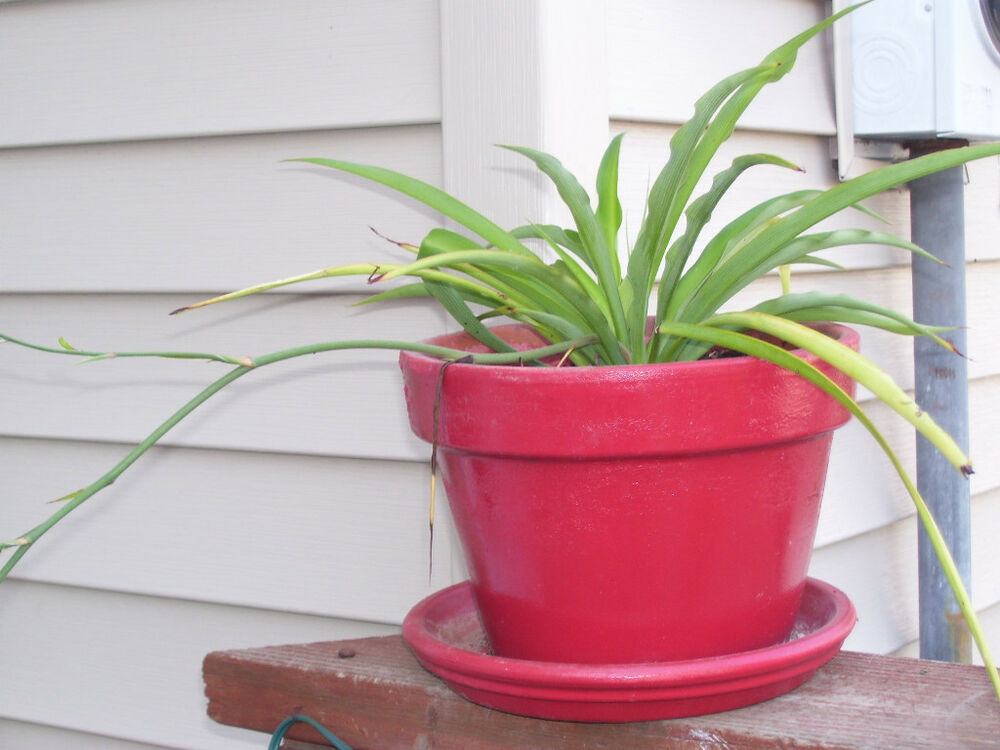 Spider Plant Great For Hanging Baskets Easy Growing Ebay