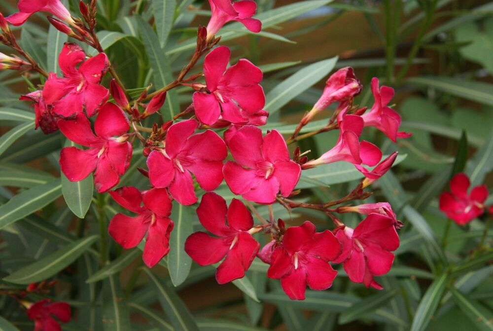 Red oleander plant nice flowers easy to grow home for Easy to care for landscaping plants