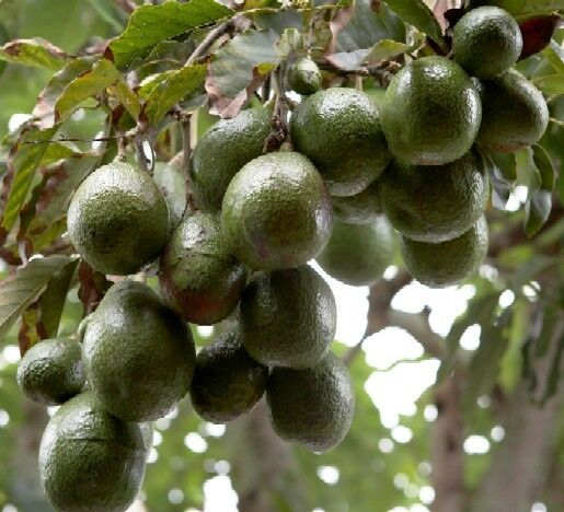 Avocado culture 20 books cd propagation disease fruit for Grow your own avocado tree from seed