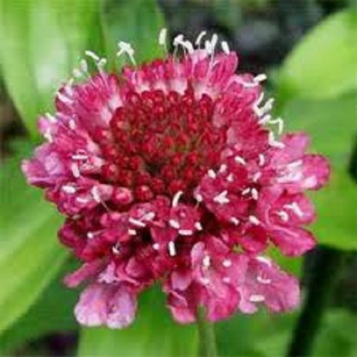 25 Rose Color Pincushion Flower Seeds Scabiosa Perennial Ebay