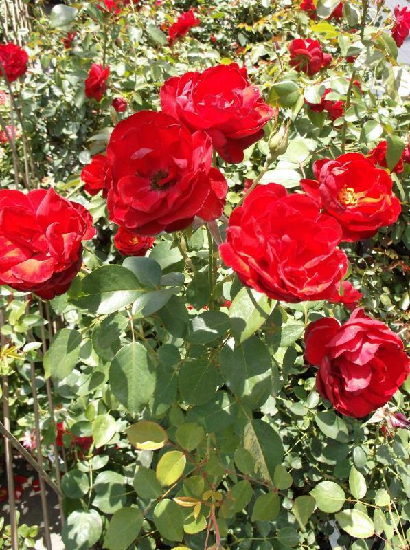 Dublin Bay Medium Red Rose 2 Gal Live Bush Plants Climbing