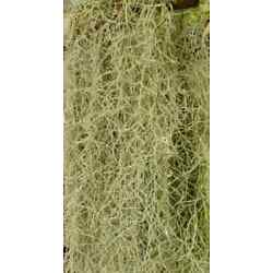 Kyпить Live Spanish Moss for Craft Projects and Flower Arranging Arrangements 2 lbs FS на еВаy.соm