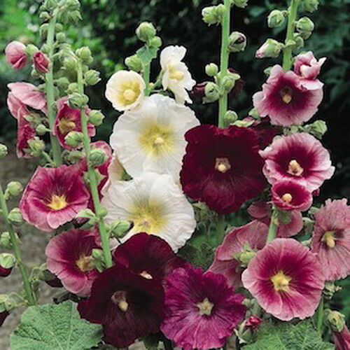 Hollyhock Colors: HOLLYHOCK ALCEA ROSEA 30 Indian Springs Mix Of Colors