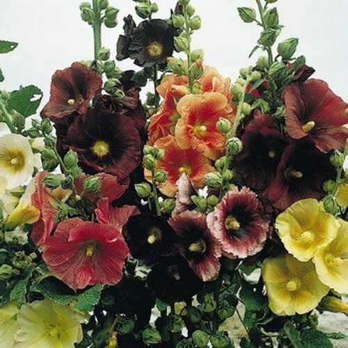 Hollyhock Colors: Hollyhock Seeds This Has Everything Colors 150 Seeds Short