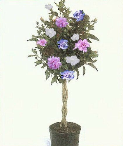 ROSE OF SHARON HIBISCUS Tree, 3-N-1 Plant Colors 1-2 Ft