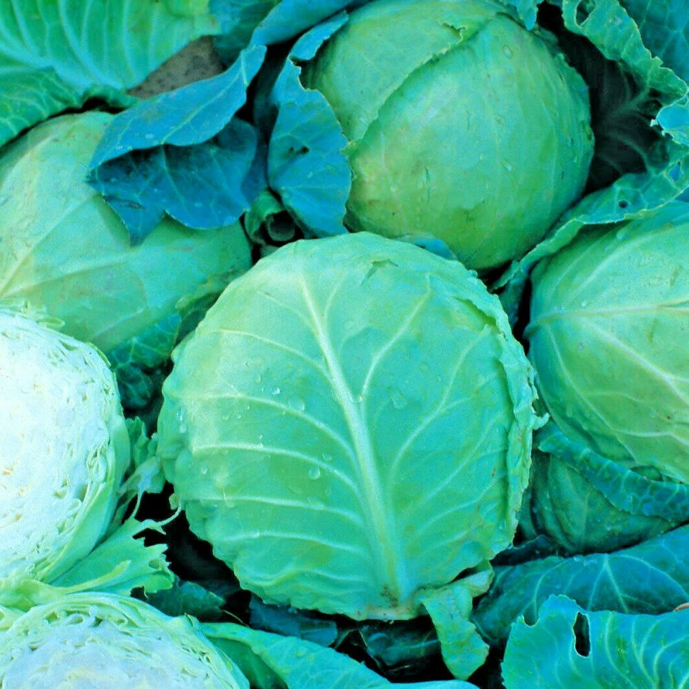 how to tell it is winter cabbage