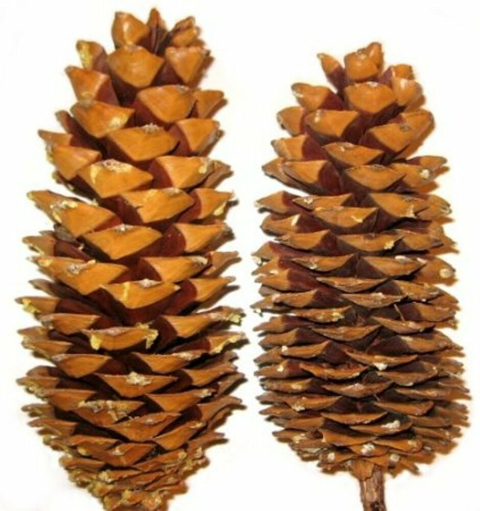 Sugar Pine Cones For Holiday Crafts And Decor