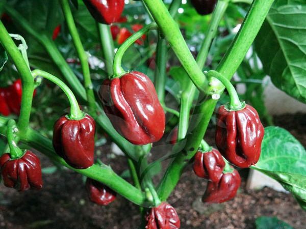 25 seeds from organically grown trinidad black congo What to do with habanero peppers from garden