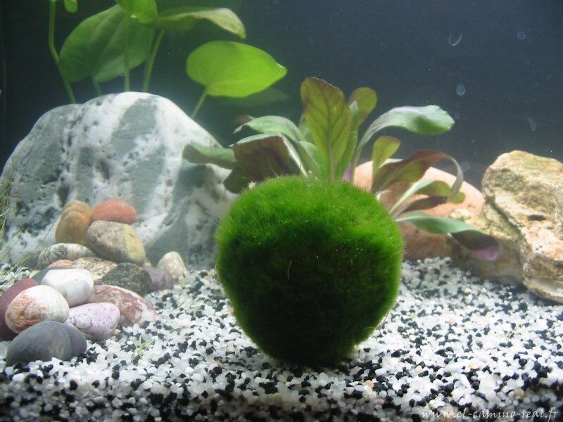 giant marimo moss ball 3 inches live cladophora moss