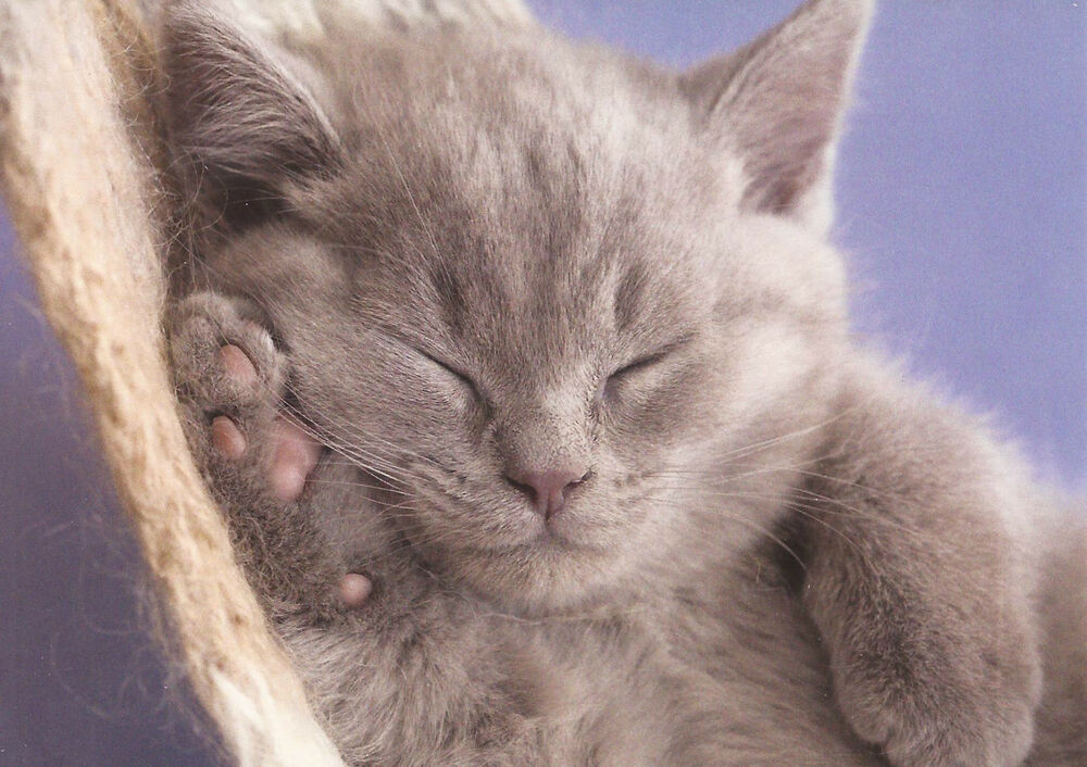 postcard cuddly creatures sleeping kitten the postcard store ebay. Black Bedroom Furniture Sets. Home Design Ideas