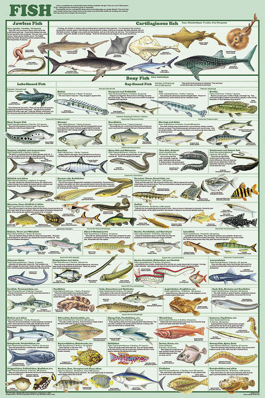 Fish Species Poster 61x91cm Educational Chart Picture
