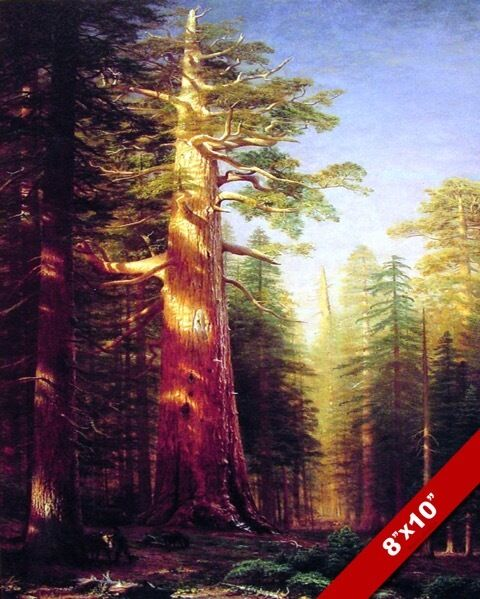 MAJESTIC GIANT SEQUOIA CALIFORNIA REDWOOD TREE PAINTING ... Redwood Tree Painting