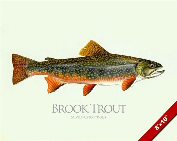 Ice Fishing Brook Trout  Under Water View!