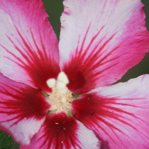 Hibiscus Rose Of Sharon Syriacus Strawberry And Creme
