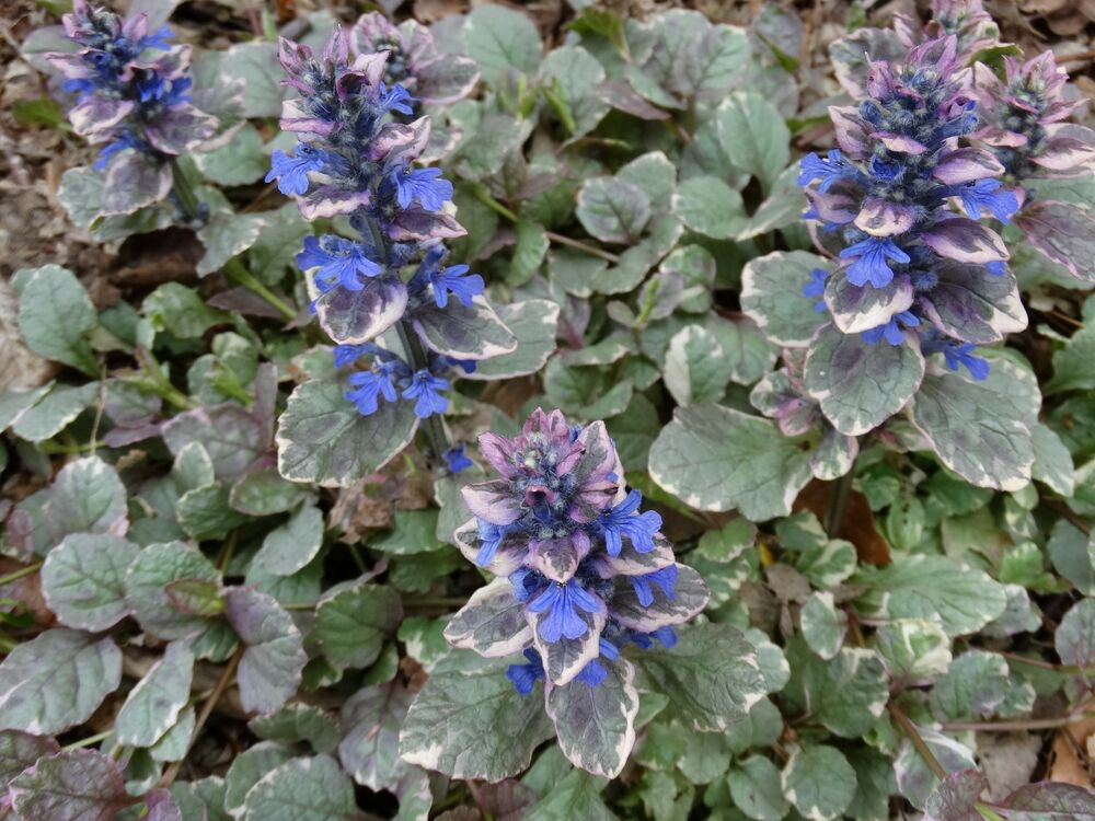 Ajuga Amp Strawberry Begonia Collection Your Choice Shade