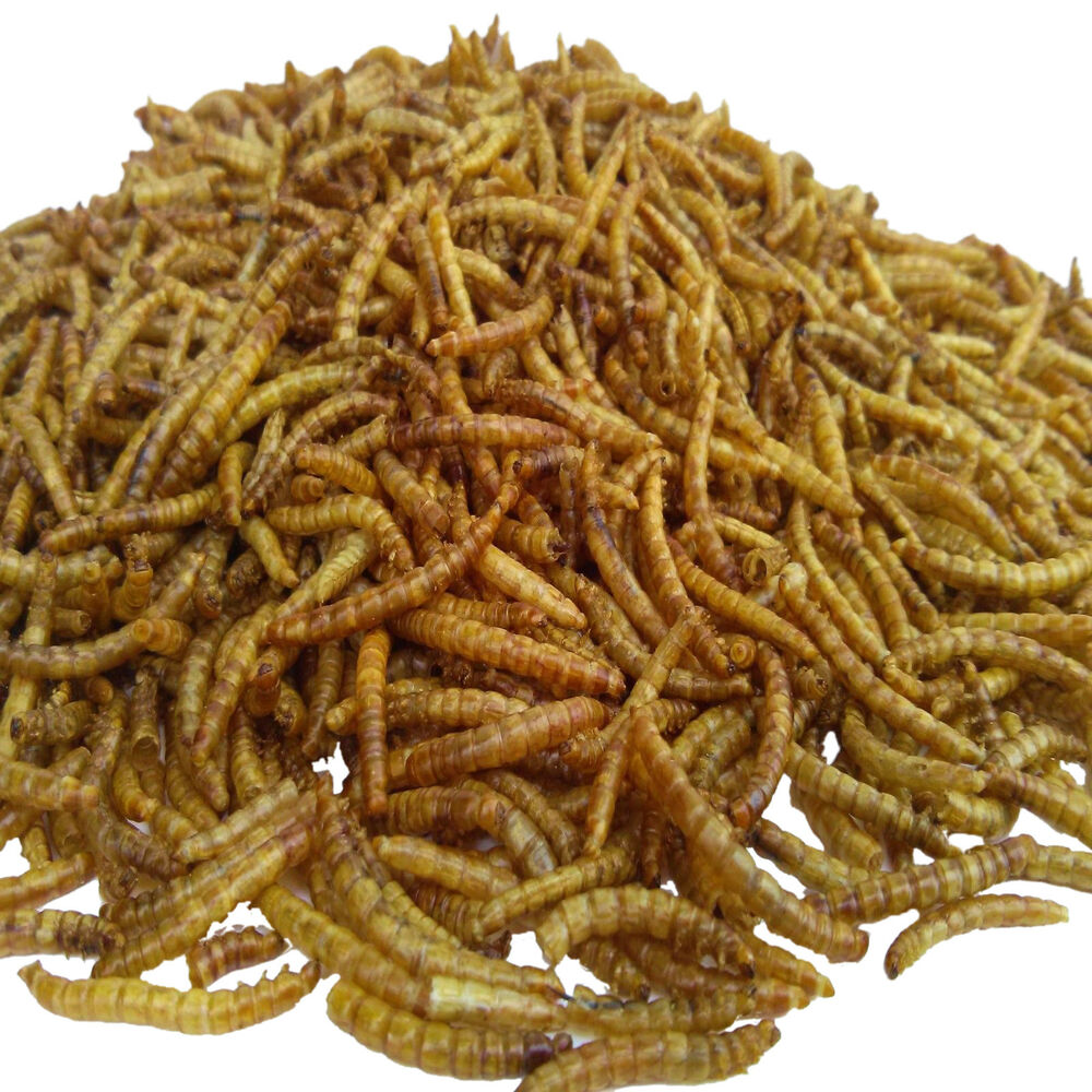 Mealworms freeze dried koi pond fish large fish for Mealworms for fishing