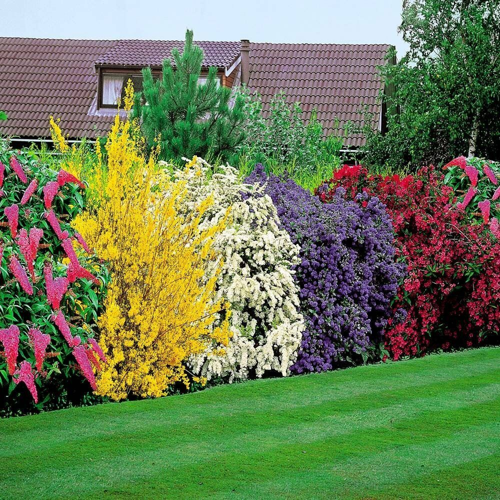 flowering shrubs hedge hardy mix colours bush hedging grow garden pation plants ebay. Black Bedroom Furniture Sets. Home Design Ideas