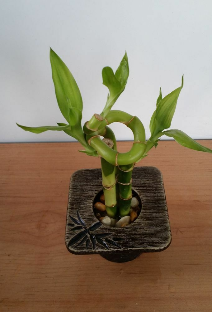 Lucky bamboo indoor house plant bring good luck and good - Lucky indoor plants feng shui ...