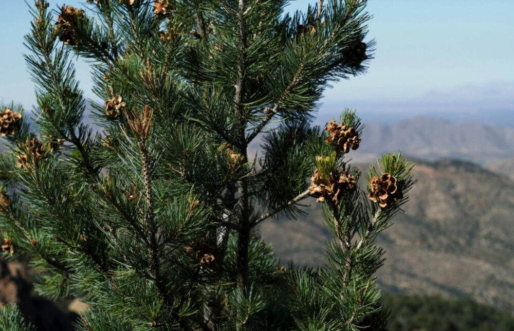 10 Pinyon Pine Nut Seeds Sustainably Raised Hard Shell