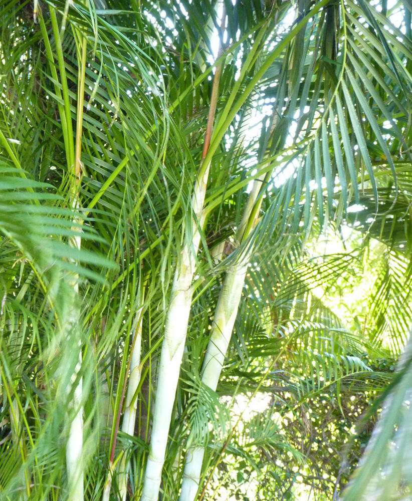 Lot 100 areca palm seedling dypsis lutescens great for Buy air purifying plants