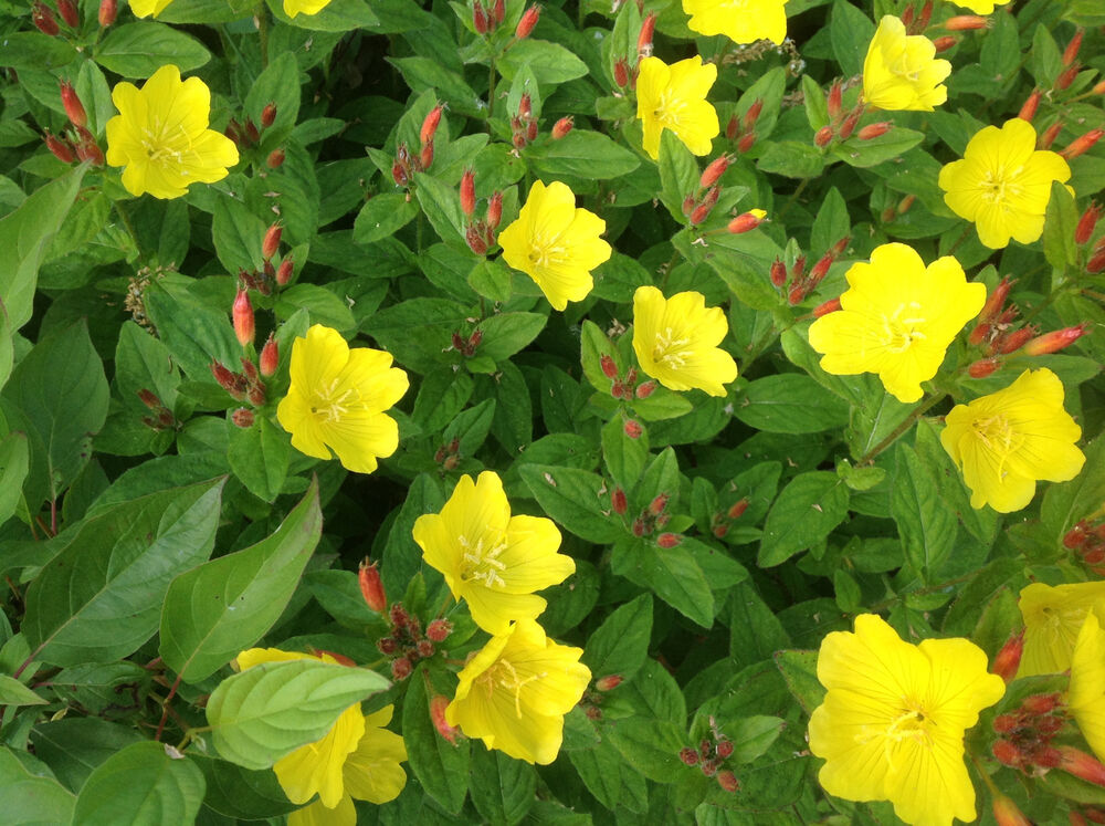 easy to grow perennial sundrops primrose 12 plants yellow flowers ebay. Black Bedroom Furniture Sets. Home Design Ideas